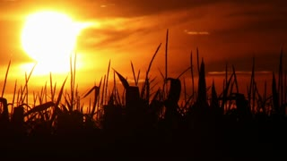 Sunset at Cornfield Time Lapse