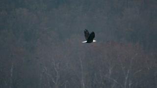 Super Slow Motion Bald Eagle Flying