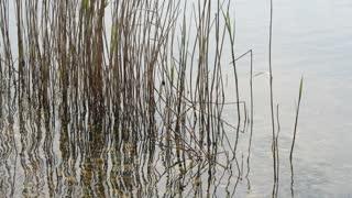 Swamp Reeds