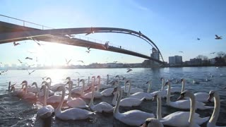 swan group. flying seagulls. slow motion. bridge landscape. lake pond