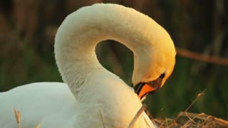 Swan tidying its feathers in the nest in the evening, sunset, close-up