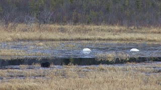 Swans and Beaver at Yukon Lake