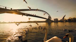 swarm of birds. swan seagull. romantic sunset. bridge lake pond. slow motion