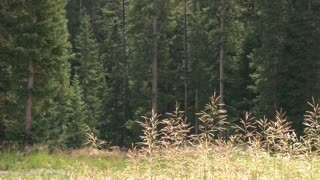 Tall Grass At Forest Edge