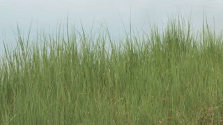 Tall Grass at Waters Edge 1
