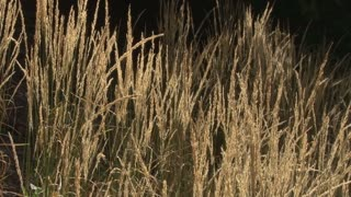Tall Grasses Blowing in the Breeze