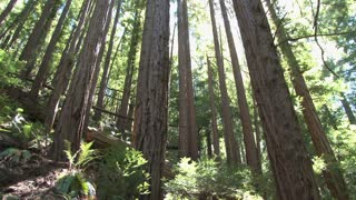 Tall Redwoods Tilt View