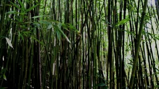 Tall Steady Bamboo Forest