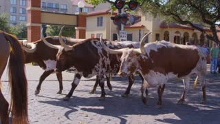 Texas Longhorns Walking Past Camera