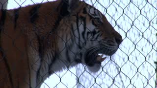 Tiger Behind Chain-link Fence
