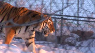 Tiger Walks Through Snow Behind Chain-link Fence