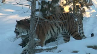 Tiger Walks Through Snow
