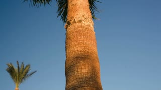 Tilt shot of a huge palm tree with its leaves waving in the wind