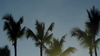 Tilt shot of evening sun shining brightly among huge palm trees. Sunset in tropics