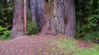Tilting Up on Base of Giant Redwood Tree
