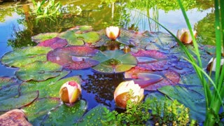 Time Lapse lily pad