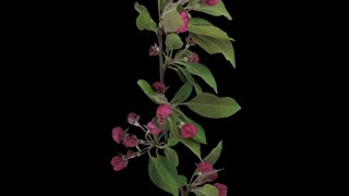 Time-lapse of blooming apple paradise branch 11a3 in 4K PNG+ format with ALPHA transparency channel isolated on black background