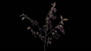 Time-lapse of blooming pink bird cherry branch 4x3 in Digital Cinema Imaging 4K PNG+ format with ALPHA transparency channel isolated on black background