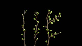 Time-lapse of blooming plum tree branch 10x4 in 4K PNG+ format with ALPHA transparency channel isolated on black background