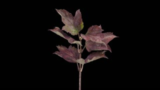 Time-lapse of drying Acer tree leaves 4a5 in 4K PNG+ format with ALPHA transparency channel isolated on black background