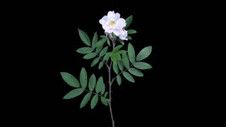 Time-lapse of drying Rosa Rubiginosa (sweet briar, sweet brier or eglantine) branch 8a5 in 4K PNG+ format with ALPHA transparency channel isolated on black background