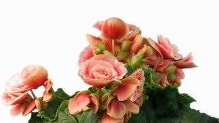 Time-lapse of growing and blooming pink begonia flower isolated on white