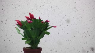 Time-lapse of growing and blooming pink Christmas cactus (Schlumbergera) 4b1 with snowing background