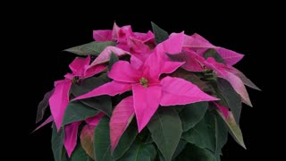 Time-lapse of growing pink Poinsettia (Princettia) Christmas flower over 3 weeks period 1b5 in 4K PNG+ format with ALPHA transparency channel isolated on black background