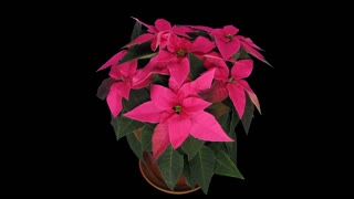 Time-lapse of growing pink Poinsettia (Princettia) Christmas flower over 3 weeks period 2a5 in 4K PNG+ format with ALPHA transparency channel isolated on black background