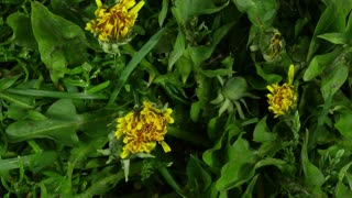 Time-lapse of opening and blooming Dandelions buds 15x2, 4K format