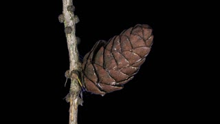 Time-lapse of opening larch cones 19x4 in 4K PNG+ format with ALPHA transparency channel isolated on black background
