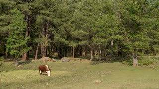 TImelapse Grazing Cow