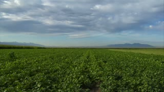Timelapse Of Green Bean Field