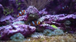 Topical saltwater fish ,clownfish Anemonefish