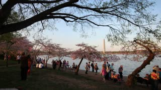 Tourists and Cherry Blossoms at Potomac River Dusk Zoom