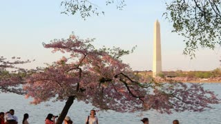 Tourists and Cherry Blossoms at Potomac River Evening Zoom Out