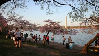 Tourists and Cherry Blossoms at Potomac River Evening