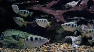 Toxotes jaculatrix (Banded Archerfish) underwater