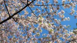 Track Across Cherry Blossom