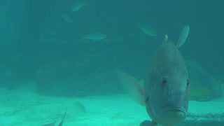Tracking Large Tropical Fish on Sea Floor Closeup