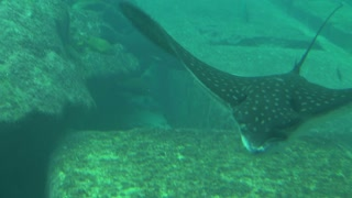 Tracking Manta Ray Gliding Past Camera Across Sea Floor 2