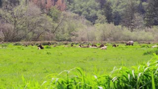 Tracking Shot of Elk From Behind Tall Grass