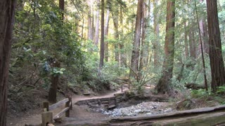 Trail Through Dense Redwood Forest