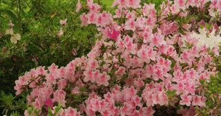 Tree with Pink and White Flowers