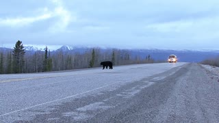 Truck Approaching Black Bear Crossing the Highway