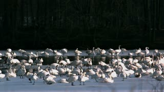 Tundra Swans Resting on Lake 2