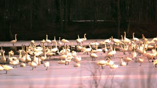 Tundra Swans Resting on Lake