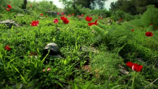 Turtles Walking Through Grassy Field 3