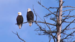Two Bald Eagles Perched on Dead Tree Branch