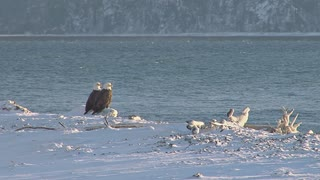 Two Bald Eagles Perched on Log on Snowy Shore